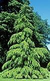 Tree Seeds Online - Cedrus Deodara - El Del Himalaya Cedro 10 Semillas - 10 Paquetes