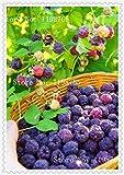 200graines de framboise couleurs mezclados semences Friut Rare géants Grande Estupendo, Deliciosas Graines de fruits pour pot jardinieres