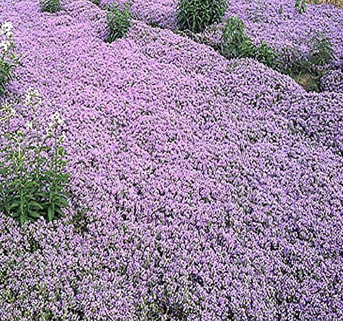 10,000 x (DWARF) CREEPING THYME Herb Seeds - Thymus Serpyllum - Excellent Ground cover - Butterflies love it - By MySeeds.Co (DWARF Creeping Thyme - Pkt. Size)