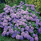 Hydrangea macrophylla Renate Steinger | Blue Flowered schrubs | Height 20-30cm | Pot Ø 14cm