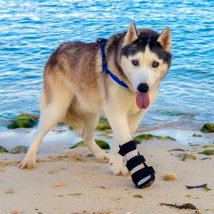 Dog wearing Walkin' Front Leg Splint in front of body of water