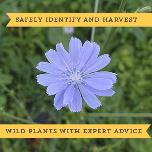 Medicinal Foraging Guides safe wild plants identify harvest
