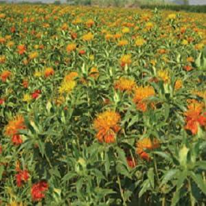 Safflower Fields