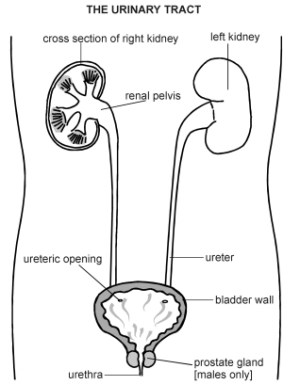 Urinary Tract | Diagram | Patient