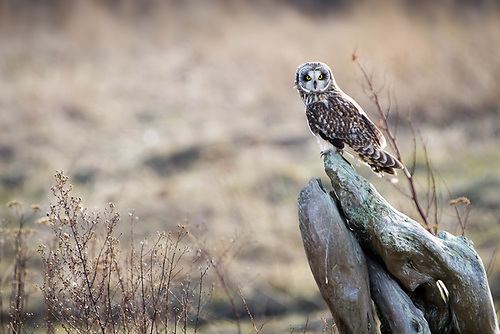 Short-eared owl perched on driftwood, Firs Island, Washington