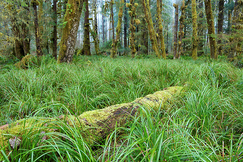 Queets River old-growth rainforest