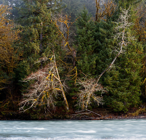 Red alder along bank of Queets River