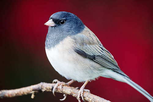 Dark eyed junco with de-focused autumn foliage in background