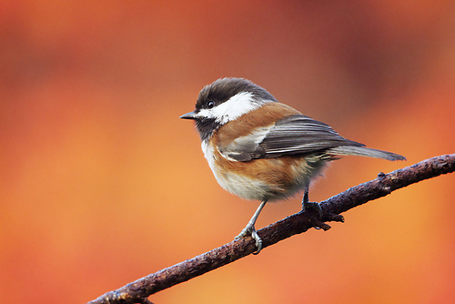 Chestnut-backed chickadee against autumn background