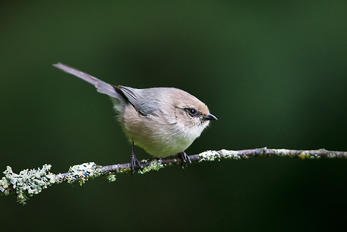 Bushtit perched on branch