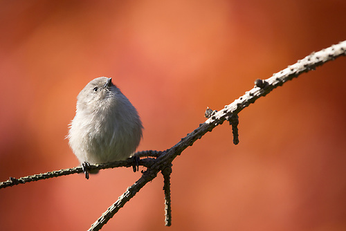 A tiny bushtit perched with autumn color in background