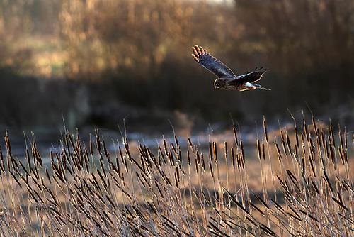 Northern harrier (Circus hudsonius) hunting over wetland, Fir Island, Washington