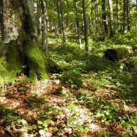 Five beech forests localities in eastern Slovakia entered in the UNESCO list; Slovak Spectator