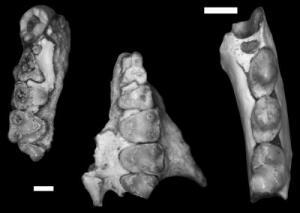 Nuevo fósil de primate descubierto en Texas