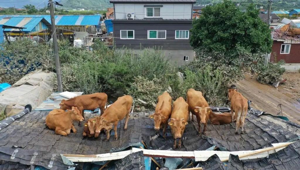 En Corée du Sud, des vaches sur un toit humide
