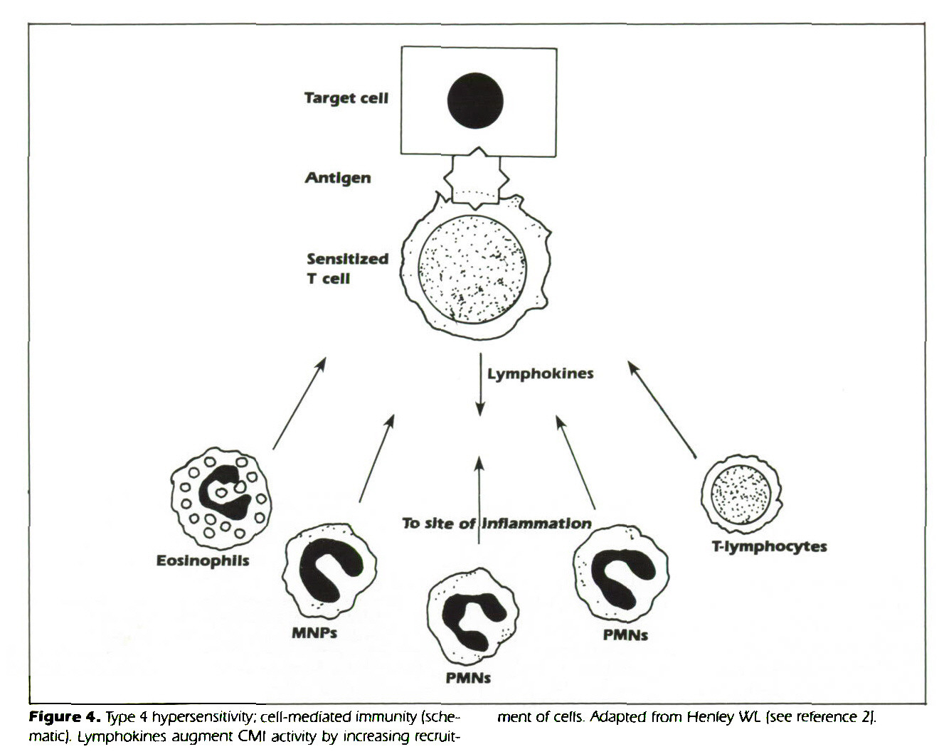 Hypersensitivity Reactions And Tissue Injury