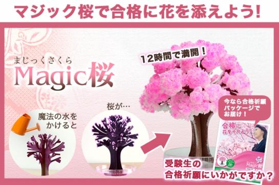 合格祈願にも、最適!自分で育てる不思議な桜「マジック桜」