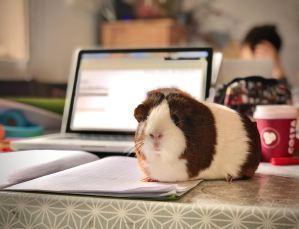 cochon d'inde au bureau