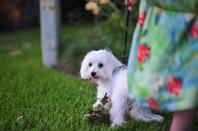 Coton De Tulear2 Comments