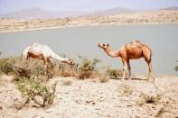 Camels!