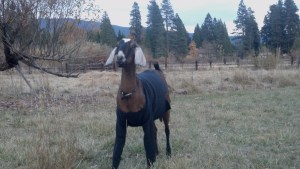 Valentine on her first day at farm in 2012.  She had to adjust the MS cool nights.