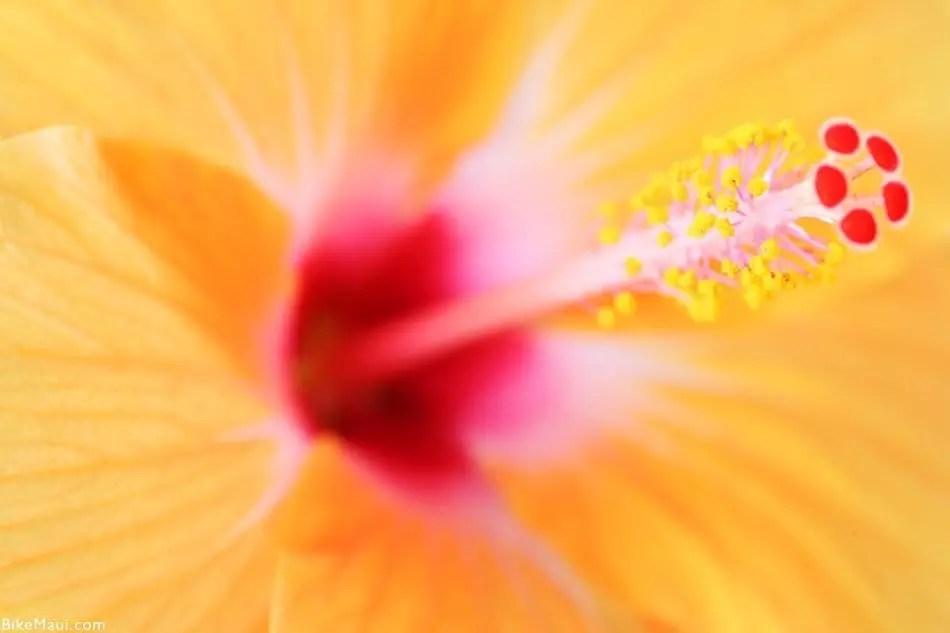 Hawaii Hibiscus