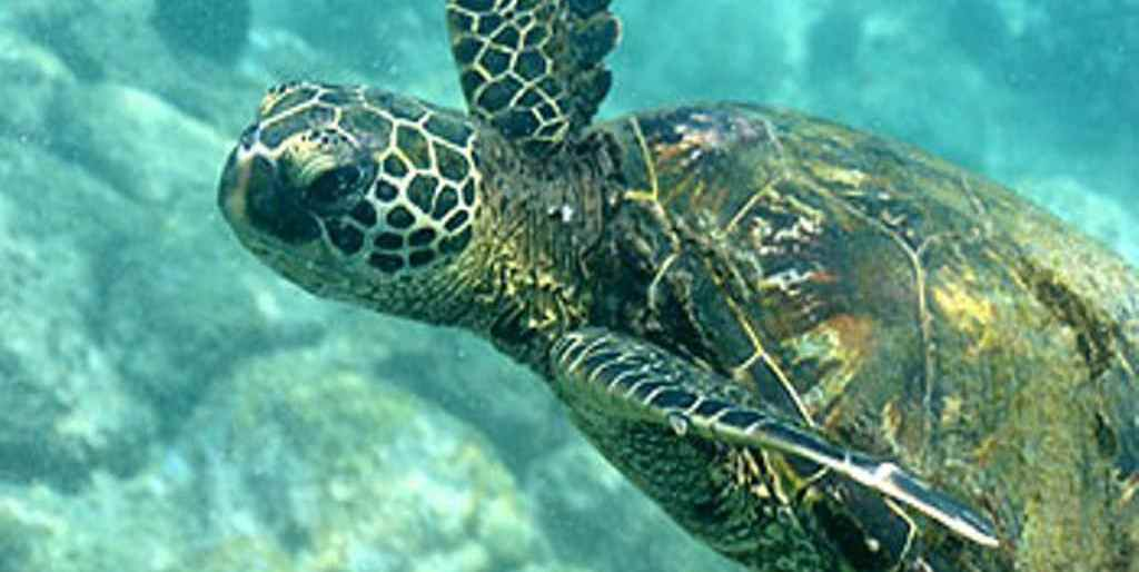 Green Sea Turtle Reefdancer