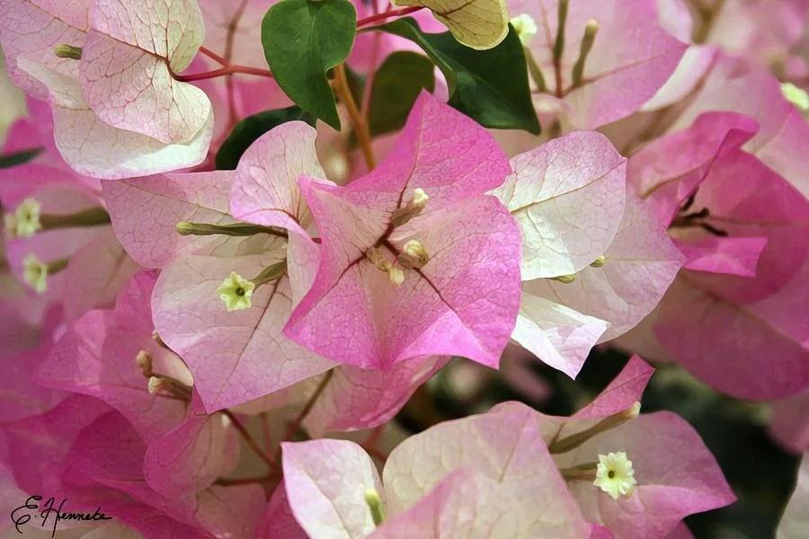 1-pink-bougainvillea-ellen-henneke