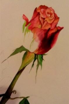 Aafrika roos 2