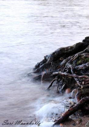 Vesi nuolee juuret Sari Maanhalla