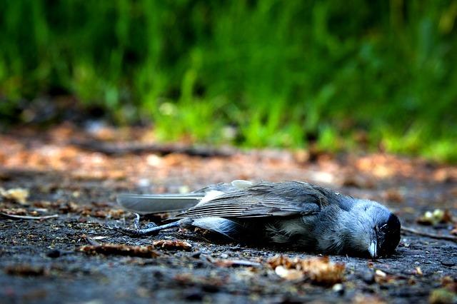 Spread of bird flu in wild birds.