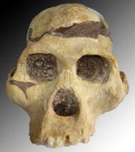 250px-Australopithèque
