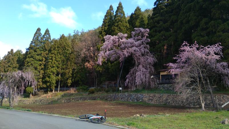 須坂大日向夫婦桜