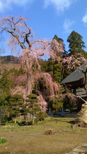 長妙寺の桜