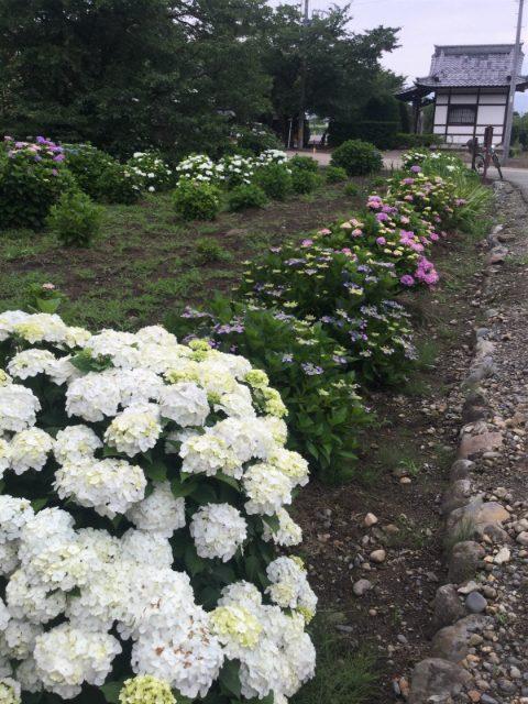 小布施岩松院紫陽花
