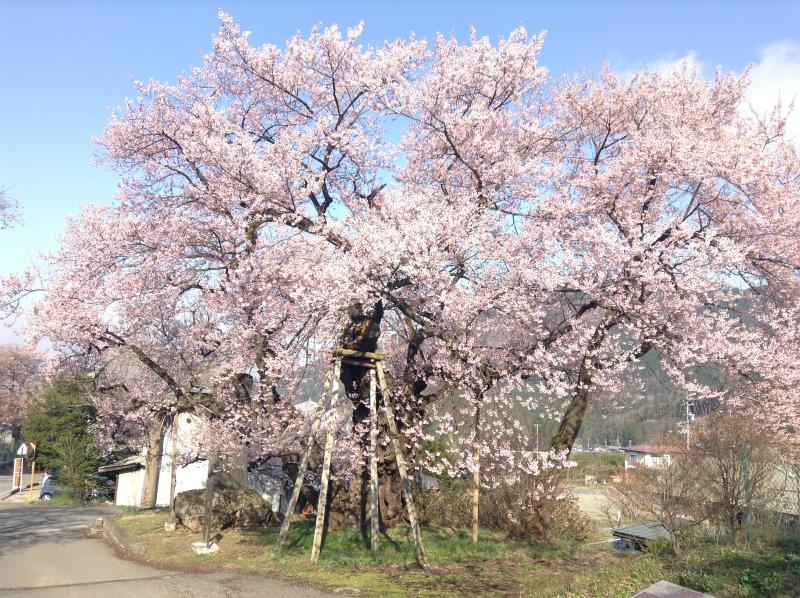 須坂豊丘延命地蔵堂の桜