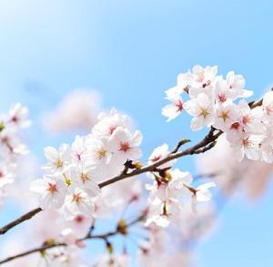 春 桜 スポーニング 春爆 荒食い ブラックバス バス釣り