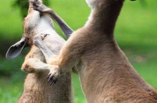 Sometimes, a Kangaroo just needs to box, yo.
