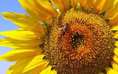 Les conseils de Maiwenn – Bienfaits des graines de tournesol