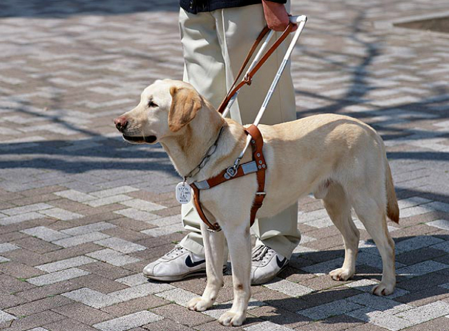 Macau government to study the introduction of guide dogs