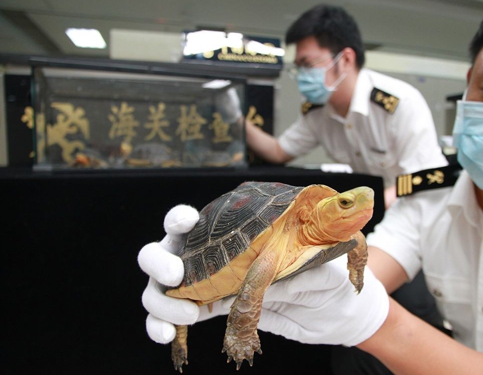 Gongbei Customs stops woman smuggling endangered 'golden turtles'