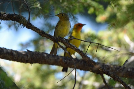 Western Tanagers