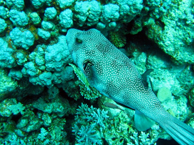 A mapped puffer fish in the Red Sea