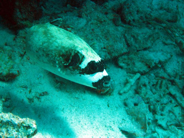 A black and white puffer fish