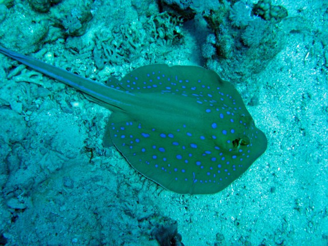 A blue spotted stingray chilling on the sea bed