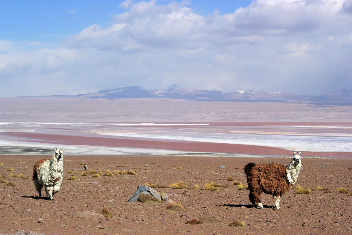 Llamas in the Atacama Desert, Bolivia