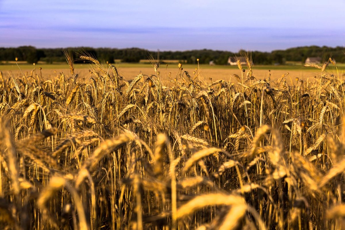 A golden wheat field in Estonia