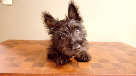 Interesting Facts about Scotties