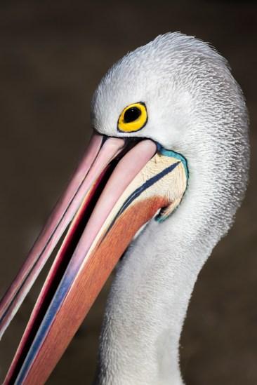 15. 2018_teawamutu_a045_nature_colourful pelican-