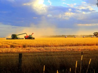 19_cc_golden harvest at riddells creek